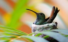 Hummingbird Bird Nest