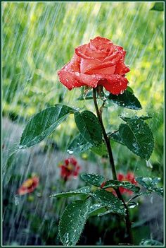 Bloom in the rain