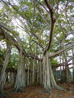 #Banyan #Tree by murphman61