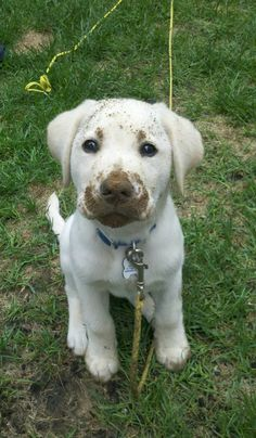 labrador got a bit dirty