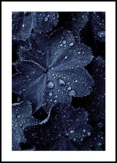 Raindrops on Blue Leaves in der Gruppe Poster / Botanik bei Desenio AB Gold Poster, Blue Poster, Print Poster, Cactus Poster, Hogwarts, Desenio Posters, Winter Leaves, Poster Store, Shape Posters