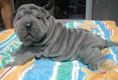 Chinese Shar-pei (Blue)
