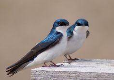 Tree Swallows by cheryl smith, via 500px