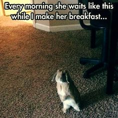 Will everybun stand for the Pledge of A Breakfast? #rabbit #bunny #cuteanimals #pets #bunnies Found this meme on #Pinterest. My buns also stand up but are far less patient.