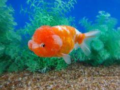 Lot# 9451 Red & White (metallic) Lionchu (4.25 inches)Goldfish Auction goldfishnet.com