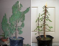 Styling Twin Trunk Juniper bonsai before/after by gilbertcan2, via Flickr