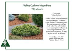 Valley Cushion TRUdwarf®Mugo Pine Pinus mugo 'Valley Cushion' offers a spreading habit to the mix of TRUdwarf® mugo choices. The very compact, dense pine stays low and flat, much wider than tall.