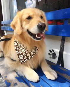 Golden Retrievers and bandannas are a natural fit