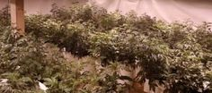 Over 950 Cannabis Plants Seized In Orange County