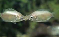 Gourami fish (Helostoma temmincki) kissing; they do this to gauge strength and establish hierarchy