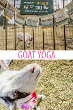 Did you know there's such thing as goat yoga? I kid you not. Here's what it's like to do downward dog in a farmyard in Arizona—with a goat on your back.