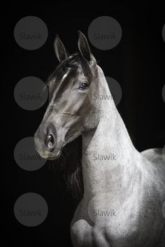 Roan is such a wonderful color on a horse, like on this Tennessee Walking Horse mare