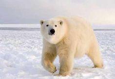 Copy of Polar Bears Habitat Endangered - Save the Polar Bears ...