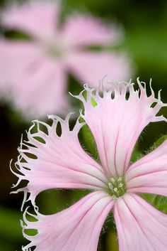Silene polypetala (syn. Silene catesbaei) is a rare species of flowering plant in the pink family known by the common names eastern fringed catchfly and fringed campion.