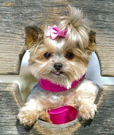 Aaaaaw, so cute! #teacupdogslist #teacupdogs #teacupbreeds #popularTeacups #YorkshireTerrier