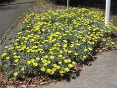 A small perennial plant forming rosettes of bluey green leaves. Over a long period of time, this hardy, versatile plant produces a mass of yellow coloured flowers. Yellow Plants, Buy Garden, Flowers Perennials, Australian Native Garden, Planting Flowers, Plants, Australian Plants, Edging Plants, Perennial Plants