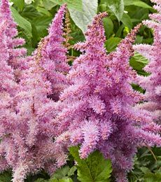 Astilbe chinensis Heart and Soul - Can plant around Black Walnut trees
