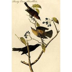Buyenlarge 'Rusty Crow Blackbird' by John James Audubon Graphic Art