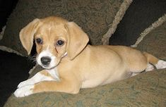 Cheagle Puppy. (Chihuahua/Beagle mix) sooo cute. This is the type of dog rayray is