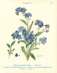 Forget-me-not (Myosotis) by J. Eudes ( before 1928) from A. Guillaumin, Les Fleurs de Jardins, tome I : Les Fleurs de Printemps, Paul Lechevalier, 1929. Wikimedia.