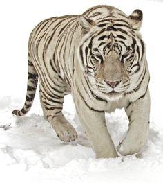 White Tiger in the Snow by fennecx.deviantart.com on @DeviantArt