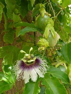 Passion flower. The best fruiting varieties for Phoenix are Frederick (a purple passionfruit variety), Blue Crown, and Incense. The flavor of Frederick is the best, followed by Incense, and then Blue Crown. Incense will need hand pollination to fruit. Blue Crown is the most cold resistant, followed by Incense, and then Frederick.