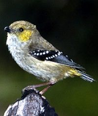 The forty-spotted pardalote is one of Australia's rarest birds and by far the rarest pardalote, being confined to the south-east corner of Tasmania.