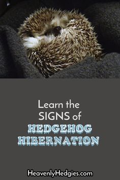 Hedgehog hibernation attempts have some signs and symptoms that you should know! Learn to recognize it, how to stop it, and what NOT to do if it happens. Hedgehog Bath, Hedgehog House, Cute Hedgehog, Hedgehog Hibernation, Reptile Cage, Reptile Enclosure, Homemade Cat Toys, Guinea Pig Toys, Healthy Pets