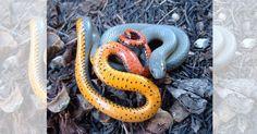 1. Serpente-de-coleira-vermelha (Diadophis punctatus regalis)