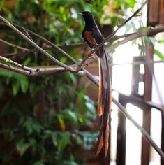 Burung Murai Batu Malaysia (rebanas.com)