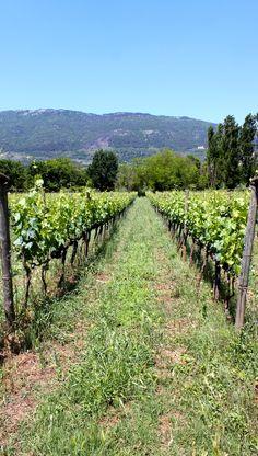 Vineyard at Casale Verde Luna, Piglio, Ciociaria, Italy