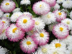 Flowers at Jephson Garden, Leamington Spa