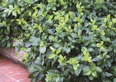 Immergrüne Kriechspindel als Bodendecker