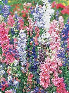 Larkspur.  The vigorous two foot plants do not need staking and have a good pastel color range with an abundance of cutting stems that can be used fresh or dried. For best results, pre-chill seed in refrigerator for two weeks, then direct seed in mid-spring.
