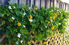 Garden ideas: Black-Eyed Susan vine in the flower garden. birdsandblooms.com