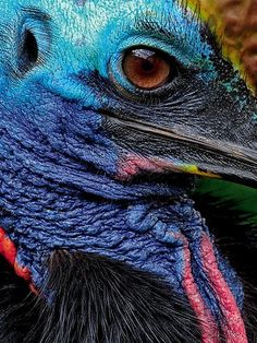 The Cassowary is a large flightless bird, in the genus Casuarius native to the tropical forests of New Guinea, nearby islands and north-eastern Australia. The most common species, the Southern Cassowary, is the third tallest and second heaviest living bird, smaller only than the ostrich and emu. Cassowaries have a reputation for being dangerous to people and domestic animals.  http://en.wikipedia.org/wiki/Cassowary