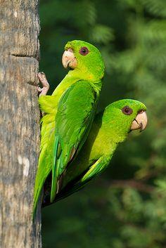 A pair of Green Parakeets