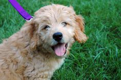 Dogs Make It Better: Goldendoodle Puppies Bring Joy to Sandy Hook Survivors | Jackie's Space