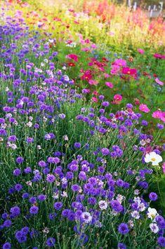 The Lost Gardens of Heligan, Cornwall. Cutting flower garden. Cornflower, Centaurea cyanus with Cosmos