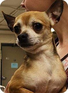 Grosse Pointe, MI - Chihuahua Mix. Meet Miller, a dog for adoption. http://www.adoptapet.com/pet/10072261-grosse-pointe-michigan-chihuahua-mix