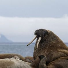 Svalbard-morses - blog Bar a Voyages #Svalbard #spitzberg #norvege #ice #banquise #morse #walrus #arctique #arctic #norway