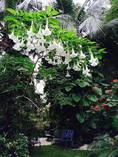 """subtropical  """" winterreise""""  (Datura Blooms fragant nights)"""