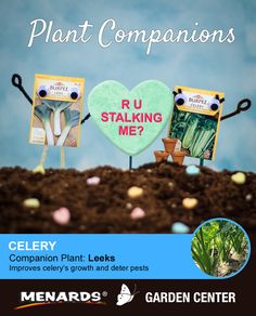 Leeks and celery make a great pair! Learn how companion planting will help you get more from your garden. http://www.menards.com/main/c-19320.htm?utm_source=pinterest&utm_medium=social&utm_campaign=gardencenter&utm_content=companion-plants&cm_mmc=pinterest-_-social-_-gardencenter-_-companion-plants