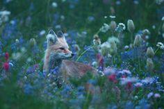 Red Fox at Twilight, Mount Rainier National Park, Washington