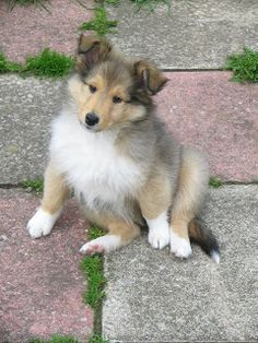 collie puppy.... best pets in the world and smartest dogs!!
