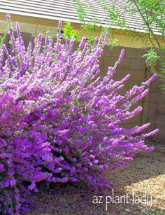 Flowering 'Rio Bravo' sage shrub (Leucophyllum langmaniae 'Rio Bravo')  This shrub has been allowed to grow into its naturally shape and is not overly-pruned.
