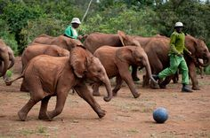 Orphan baby elephants playing soccer at Dame Daphne Sheldrick's elephant orphanage, Kenya.