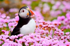 Puffin, Saltee Islands, County Wexford, Ireland by Fran Byrne Winter Pictures, Bird Pictures, Beautiful Birds, Animals Beautiful, Animals And Pets, Cute Animals, Wexford Ireland, Shorebirds, Sea Birds