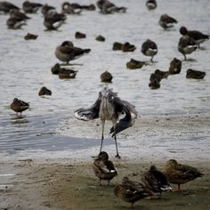 dancing heron by ~sanderdinges on deviantART Oostvaardersplassen