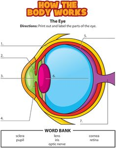 How the Body Works Eye Activity solution Science Worksheets, Science Curriculum, Preschool Science, Teaching Activities, Science Education, Science For Kids, Health Education, Physical Education, Human Body Science